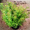 Spiraea Little Princess #5