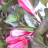 Weigela Wine & Roses 8in