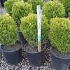 Buxus suffruticosa #2
