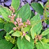 Spiraea Little Princess buds