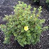 Potentilla Gold Star #5