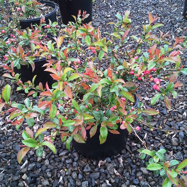 Chaenomeles Pink Storm #3-will ship in PW pot