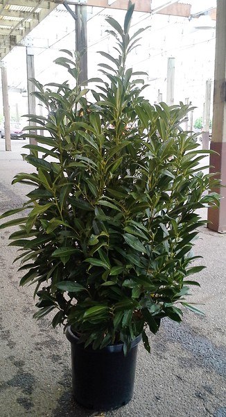 Prunus Skip #10