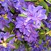 Rhod Blue Baron flowers