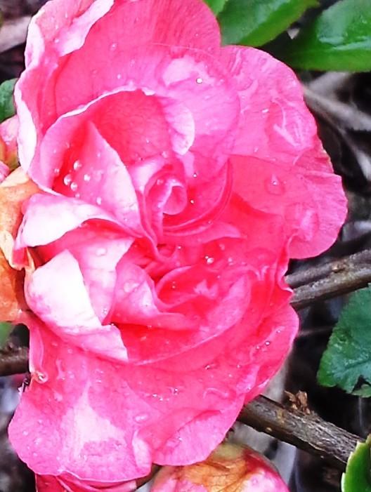 Chaenomeles Pink Storn #3 flower