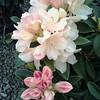 Rhod Golden Torch flower
