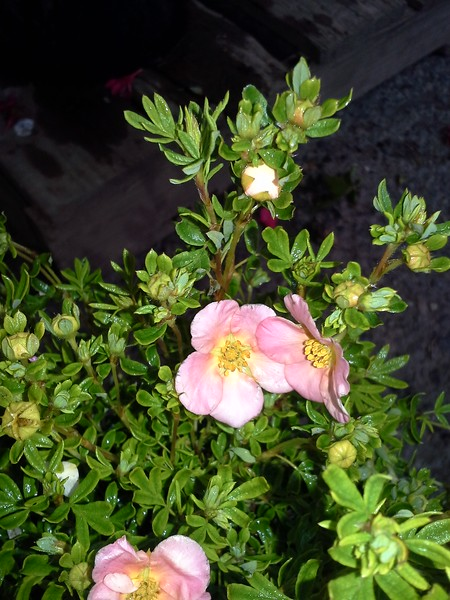 Potentilla Pink Whisper flowers