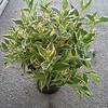 Weigela variegata #2