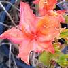 Azalea Mandarin Lights flower