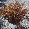 Physocarpus Summer Wine #3