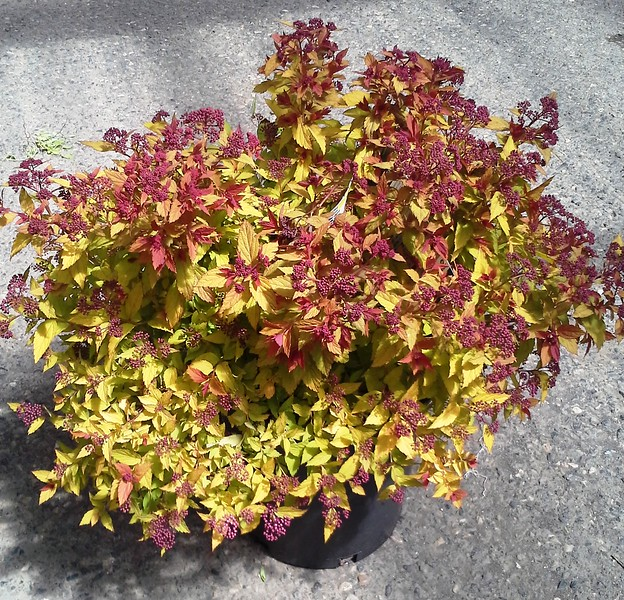 Spiraea Magic Carpet #5