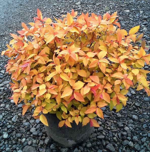 Spiraea Gold Flame #2
