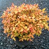 Spiraea Gold Flame #2