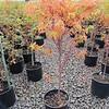 Acer Sango kaku #7 fall color