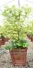 Acer Planter using Ukigumo