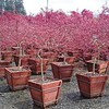 Acer Selects Red 16WBX crop