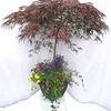 Acer planter