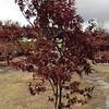 Acer Bloodgood #10