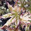 Acer Ukigumo foliage