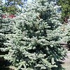 Picea Fat Albert 24WBX