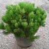 Pinus pumilio #2