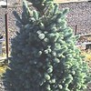 Picea Baby Blue #10