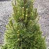 Pinus nigra #7