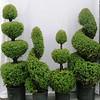 Picea glauca conica topiary assortment