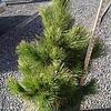 Pinus Thunderhead #5