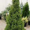Picea glauca conica #7