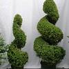 Picea glauca conica spirals #5 & #7