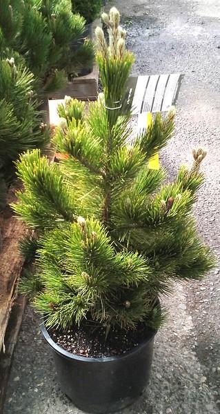 Pinus heldrichii #5