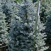Picea Fat Albert 16WBX
