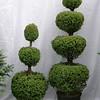 Picea glauca conica tiered #5 & #7