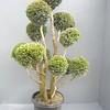 Chamaecyapris Cyano Virides #15 Topiary