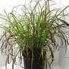 Miscanthus Little Miss #3