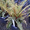 Polystichum archtostichoides 10SQ (just a few)