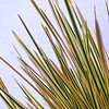 Deschampsia Northern Lights foliage