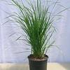 Calamagrostis Karl Foerster #1