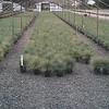 Festuca Elijah Blue #1 crop