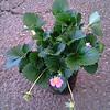 Strawberry Gasana #1