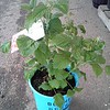 Rubus Raspberry Shortcake #2