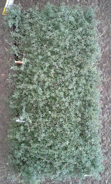 Thymus pseudolanguinosis J606