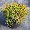 Delospermum nubigenum #1 #575541