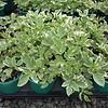 Aegopodium variegatum QT