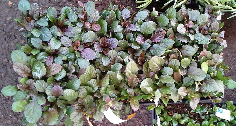 Ajuga Bronze Beauty J606