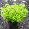 Galium odoratum #1