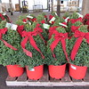 Buxus Green Mountain #5 with red pot and bow