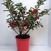 Ilex Red Beauty #1 in red pot