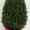 Buxus Green Mountain #5 in red pot